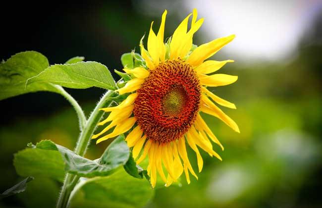 向日葵什么时候开花