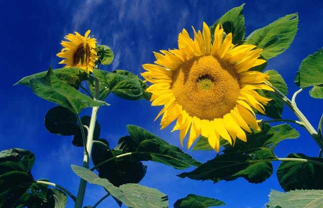 向日葵什么时候成熟