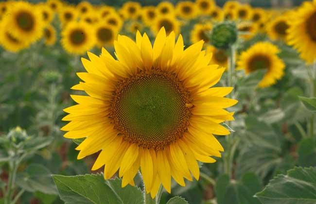 向日葵的生长过程