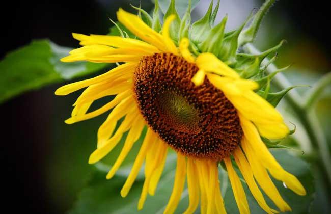 向日葵种子怎么种?