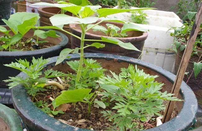 向日葵种子怎么种