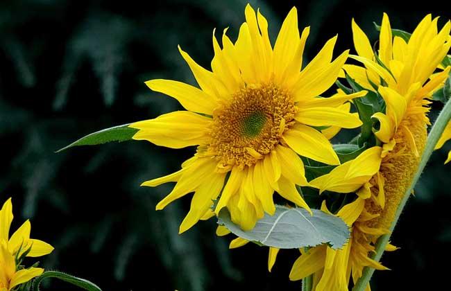 观赏向日葵怎么种
