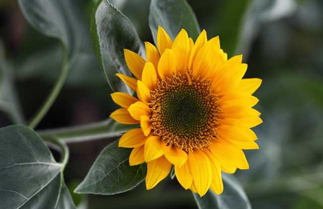 向日葵属于什么植物?