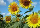 向日葵什么时候成熟?