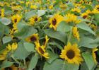 向日葵的种植技术