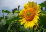 观赏向日葵怎么种?