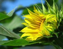 观赏向日葵品种图片大全