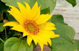 向日葵的花语和传说