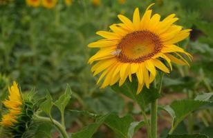 向日葵代表什么意思?