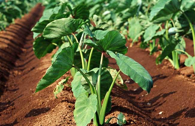 芋头种植技术