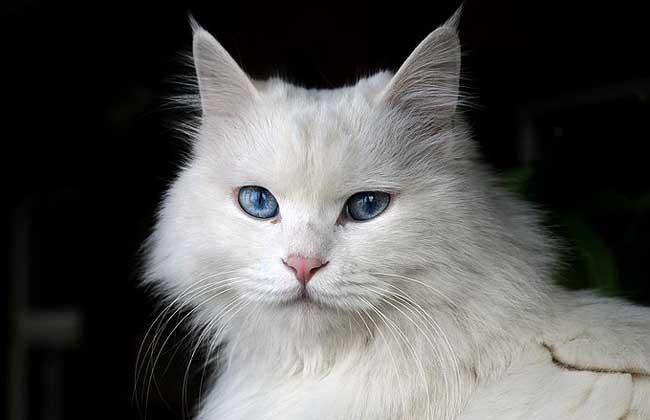 梦见白猫是什么意思?