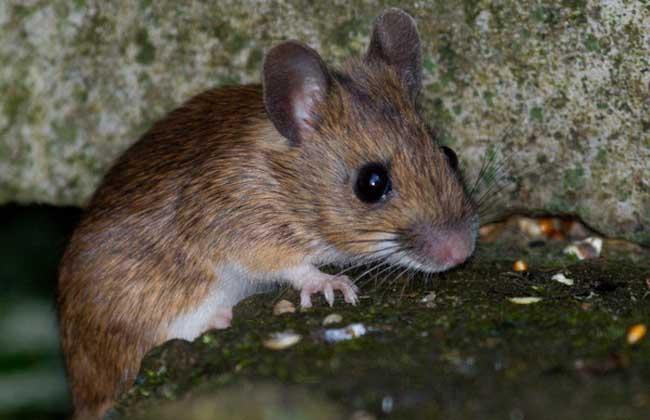 梦见被老鼠咬是什么意思?
