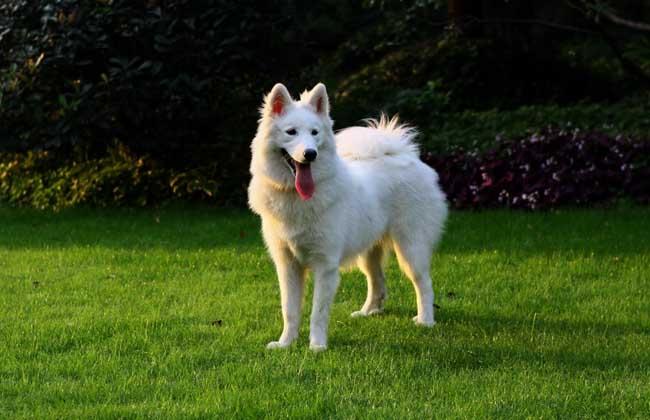 萨摩耶犬怎么养才好