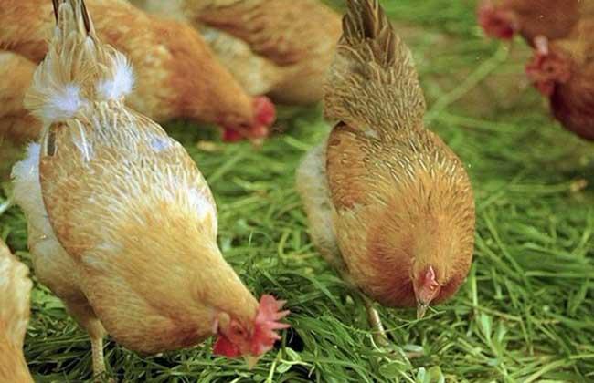农村养殖什么不愁销路?