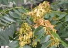 臭椿树的种植技术