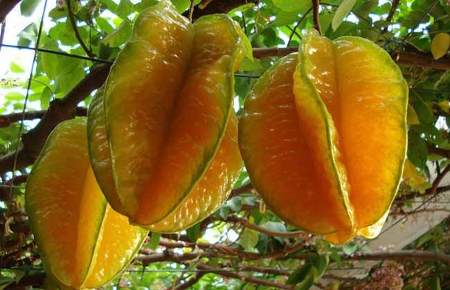 孕妇能吃杨桃吗