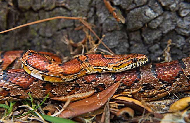 梦见红色的蛇是什么意思?
