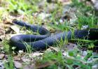 梦见黑蛇是什么预兆?