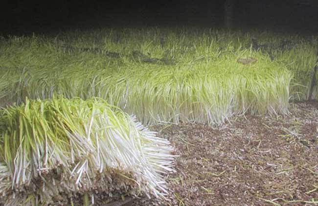 韭黄的种植方法