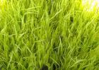 韭黄无土栽培技术