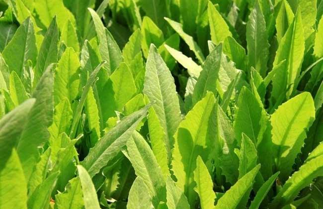 油麦菜种植技术
