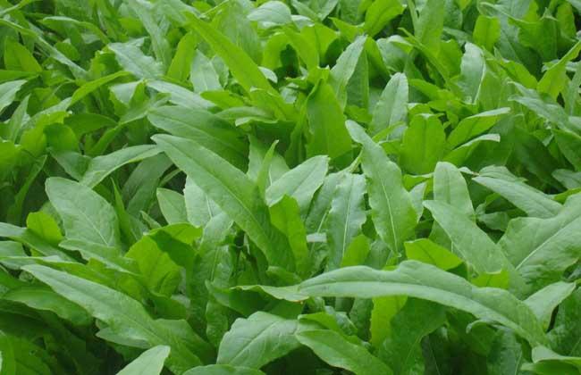 油麦菜和莴笋叶的区别