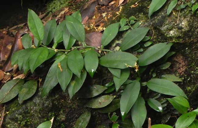 石柑子的功效与作用
