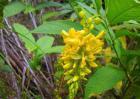 黄花倒水莲的功效与作用