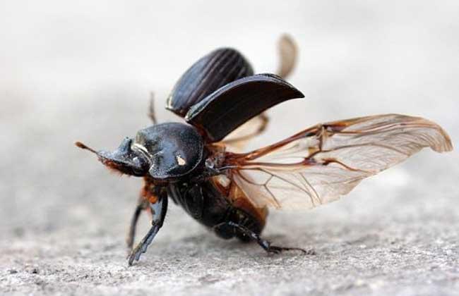 蜣螂的功效与作用