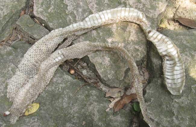 蛇蜕的功效与作用