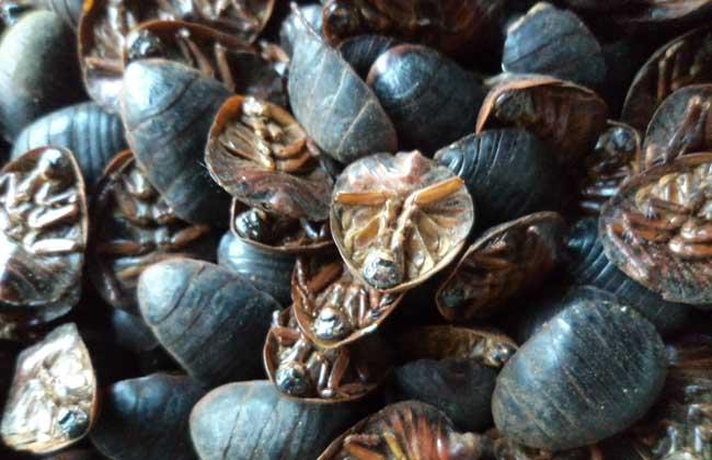 土鳖虫的功效与作用