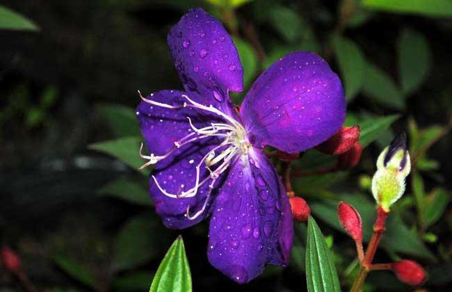紫杜鹃的功效与作用