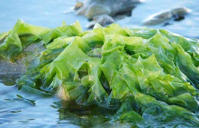 海藻的功效与作用