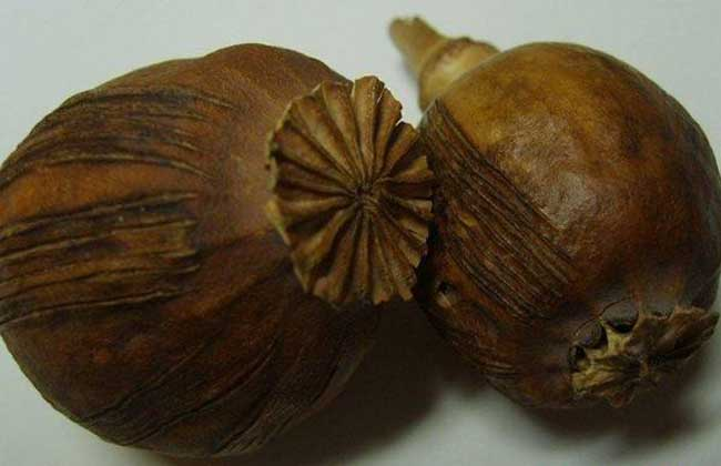罂粟壳的功效与作用