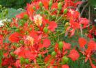 凤凰木什么时候开花?
