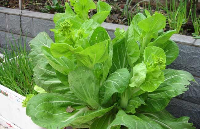 白菜苔种植技术