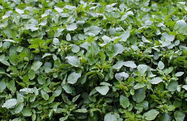 豆瓣菜栽培技术