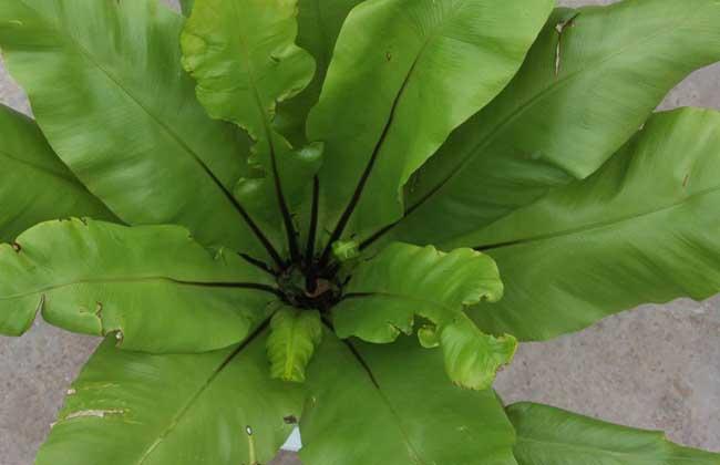 鸟巢蕨的养殖方法
