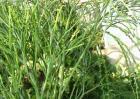 松叶蕨的功效与作用