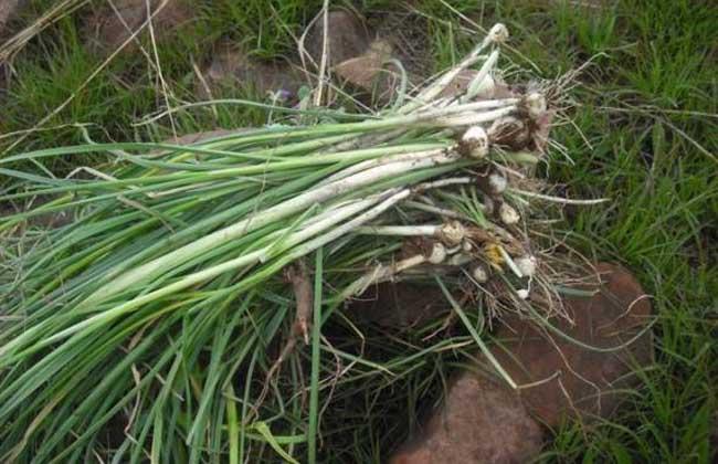 野葱的功效与作用