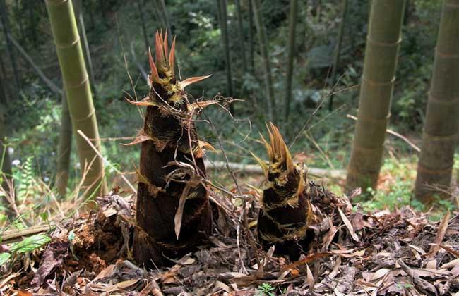 竹笋价格多少钱一斤?