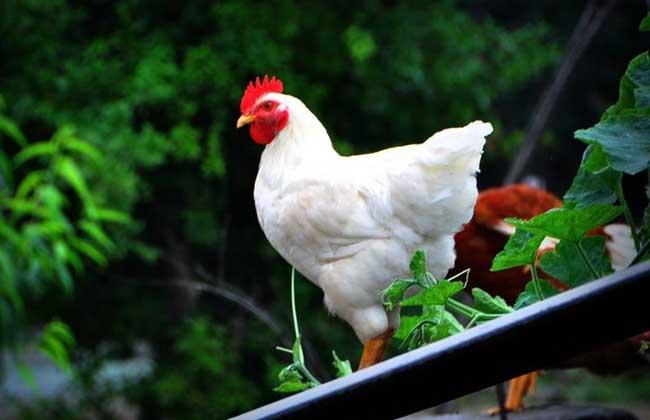 梦见鸡是什么意思?
