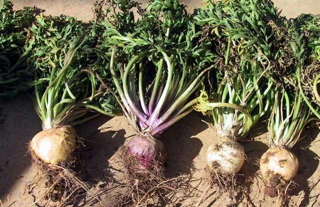 玛卡种植技术