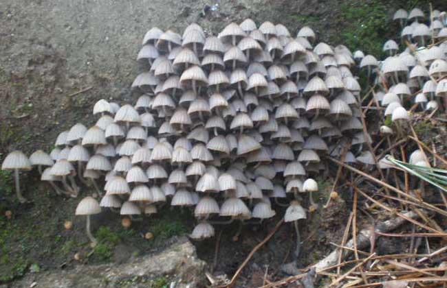 毒蘑菇品种及图片大全