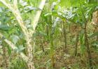魔芋高产种植技术