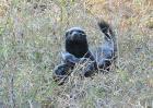 蜜獾天敌是什么动物?