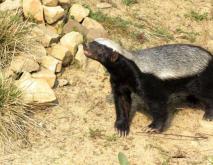 蜜獾的种类图片大全