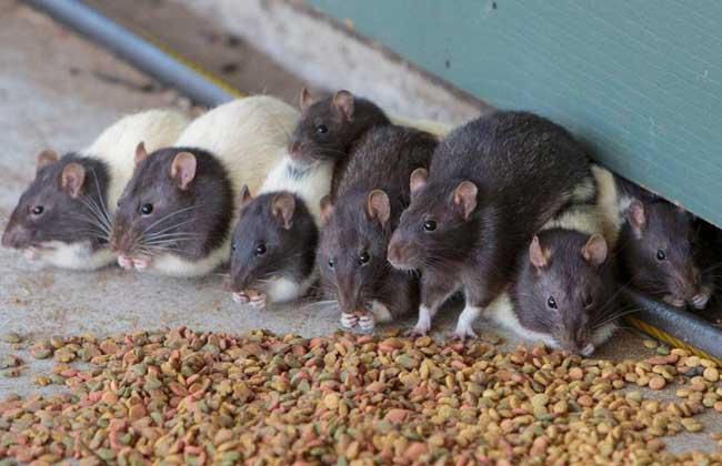 梦见老鼠是什么意思?