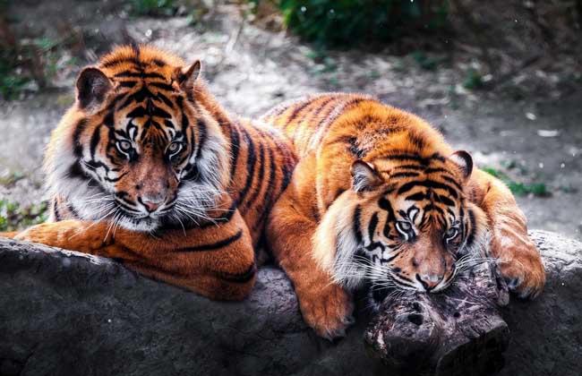 梦见老虎_梦见开门有只老虎,老公拔腿就跑,还叫老虎来咬我,结果