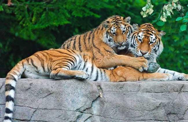 梦见老虎_梦见老虎是什么意思?